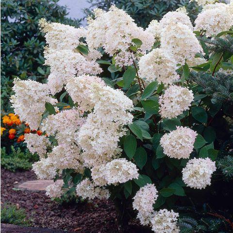 Aedhortensia 'Grandiflora' 50-60cm paljasjuurne istik