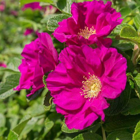 Kurdlehine roos 'Rubra' 80-100cm paljasjuurne istik