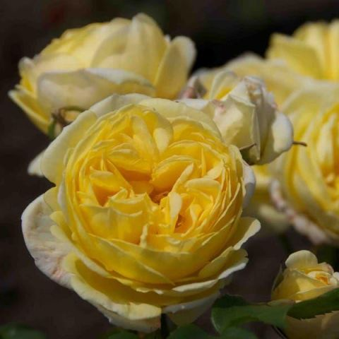 Peenraroos Parfum 'Faustina' P12 20cm
