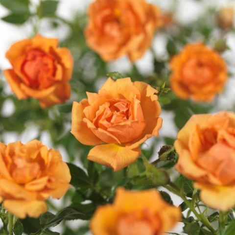 "Pinnakatteroos ""Amber Nectar ""  P12 20cm"