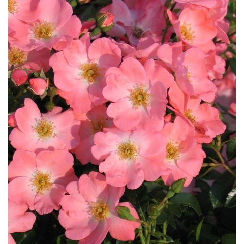 """Pinnakatteroos """"Pink Blanket """"  P12 20cm"""