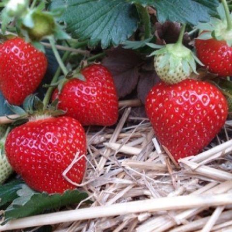 Maasikas 'Rumba' 6-pakk