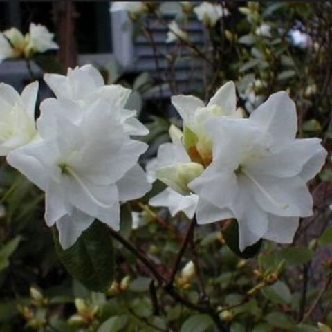 Dauuria rodo 'April Snow' C7,5 30-40cm
