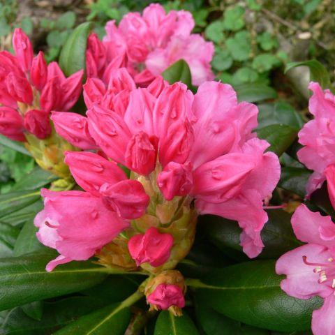 Jaku rododendron 'Kalinka' C5 25/30cm