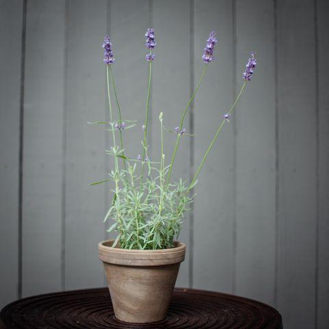 Lavendel P12