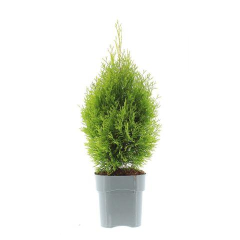 Harilik elupuu 'Golden Smaragd' C2 25/30