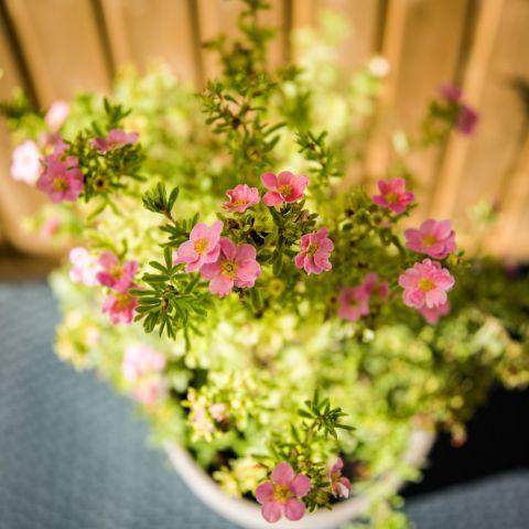 Harilik põõsasmaran 'Lovely Pink' C3 30-35 cm