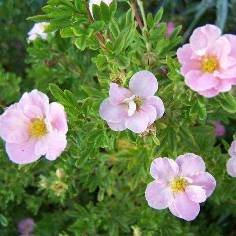 Harilik põõsasmaran 'Pink Queen' C3 30-35 cm