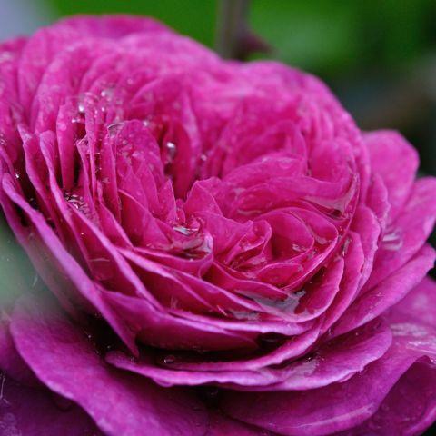 Uus-antiikroos 'Heidi Klum Rose'® C4