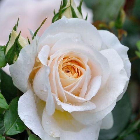 Uus-antiikroos 'Lions Rose'® C4