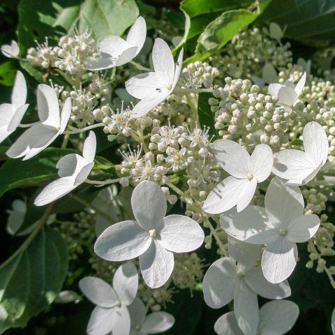 Aedhortensia 'Prim White' C3 30-40 cm