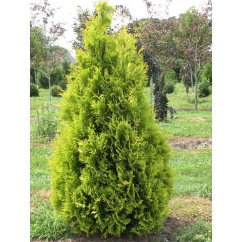 Harilik elupuu 'Yellow Ribbon' 120-140 cm mullapalliga ekstra kvaliteediga