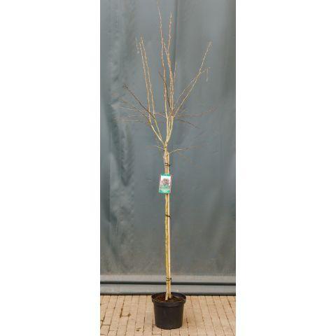 Tömbilehine viirpuu 'Paul's Scarlet' C10 110cm