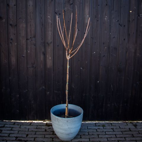 Aedhortensia tüvivorm C7,5 70 cm