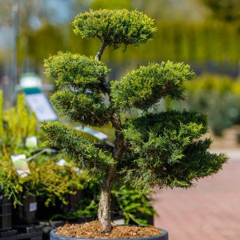 Pfitzeri kadakas 'Pfitzeriana Aurea' C55 110cm bonsai