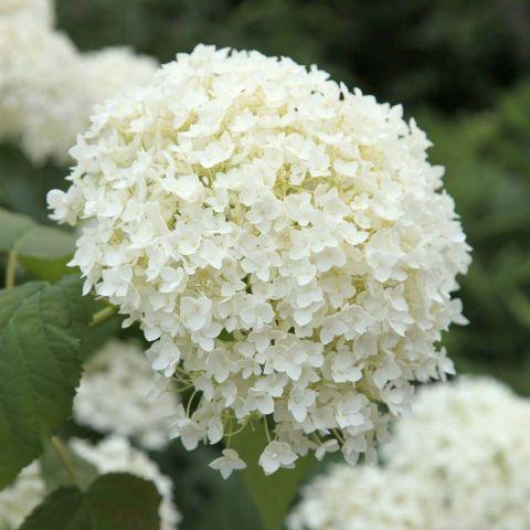 Puishortensia 'Annabelle' C2 20-25 cm