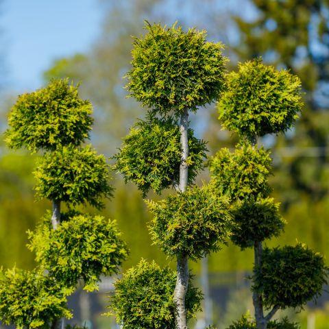 Harilik elupuu 'Brabant' C90 175-200cm bonsai mitme palliga