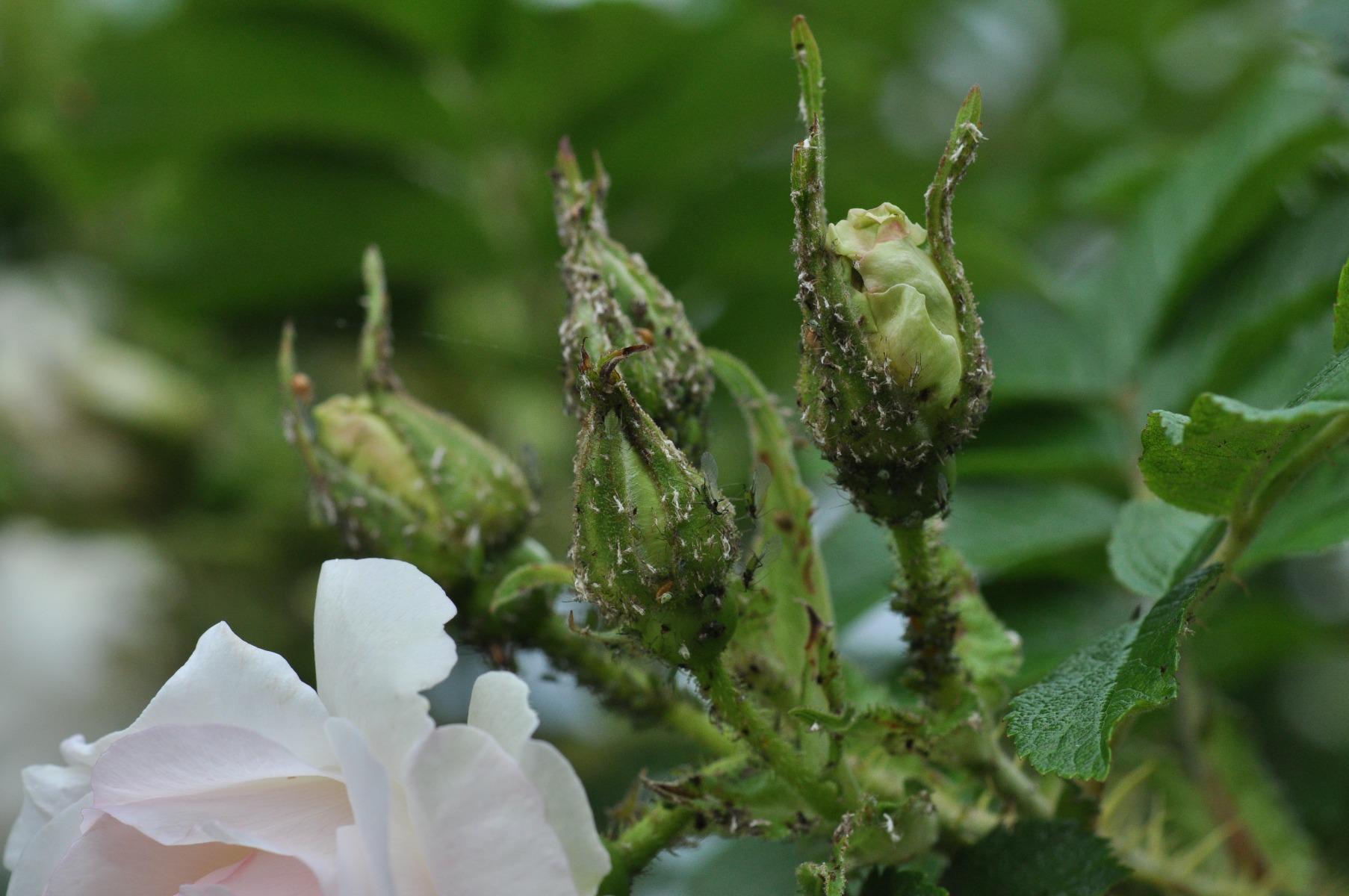 Lehetäid roosil