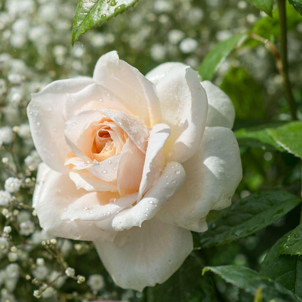 Uus-antiikroos 'Lions Rose'