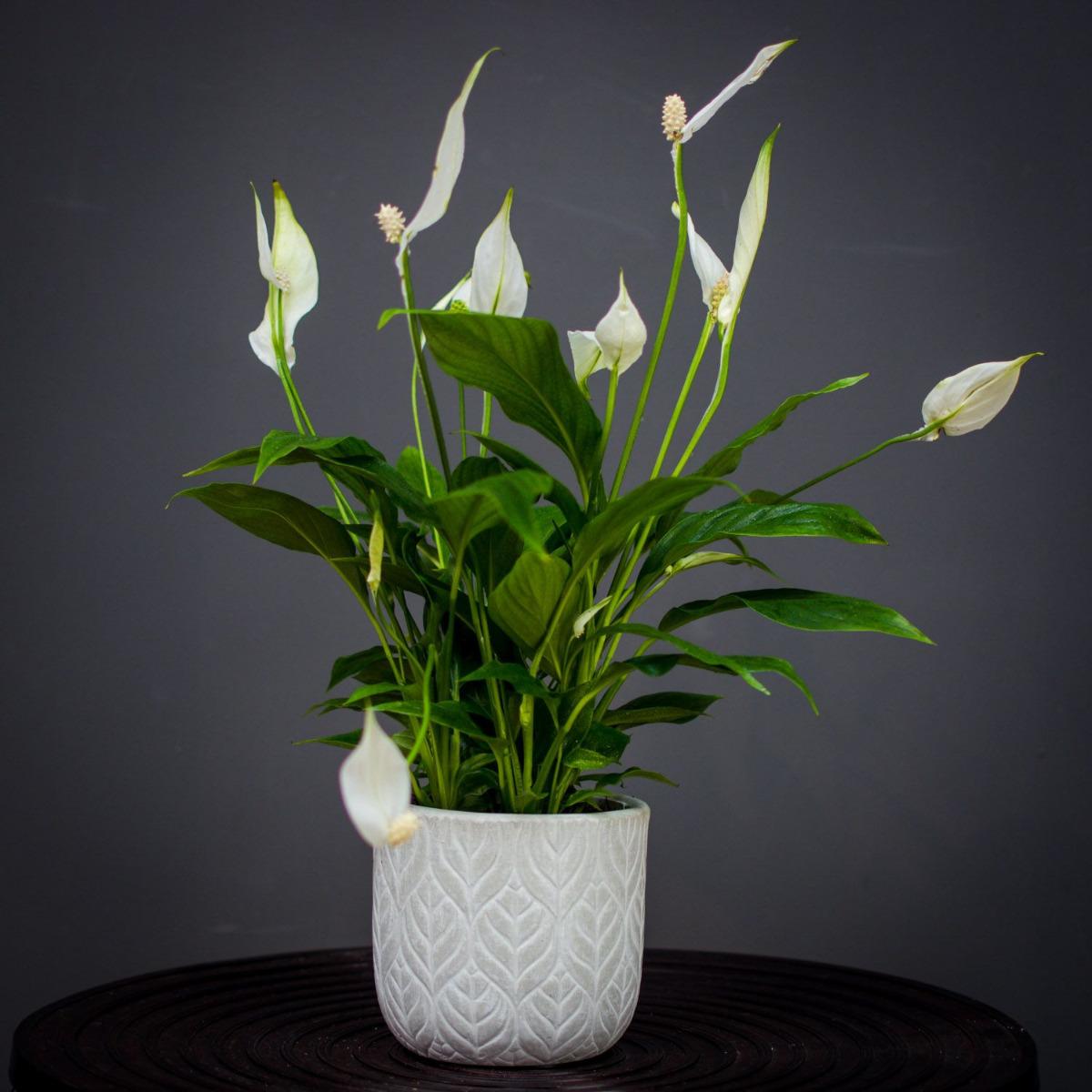 20bd2c17771 Viimaseks on õitsev taim tõlvlehik. Ainus, mida antud taime puhul tuleb  silmas pidada on, et tõlvlehik saaks piisavalt kasta, et ta ei oleks otsese  päikese ...